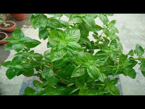 What is the stevia plant called in Hindi? - Quora